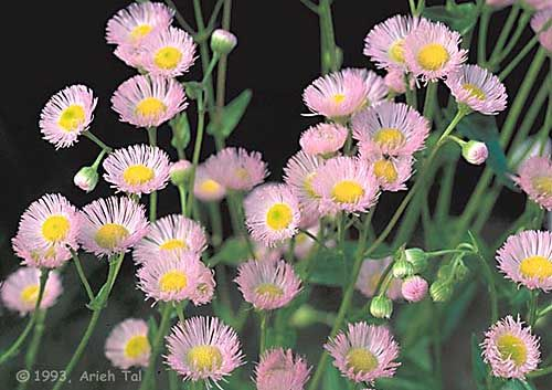 Erigeron Philadelphicus Flowers Perennials Aster Flower Parts Of A Flower