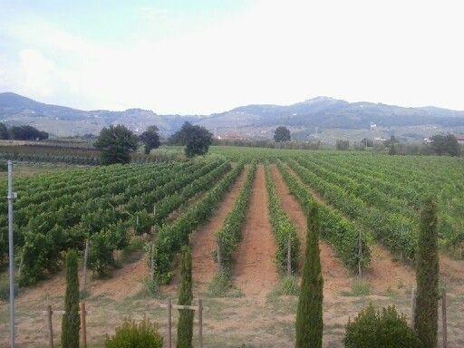 Cipreses y viñedos en amanecer en la Toscana