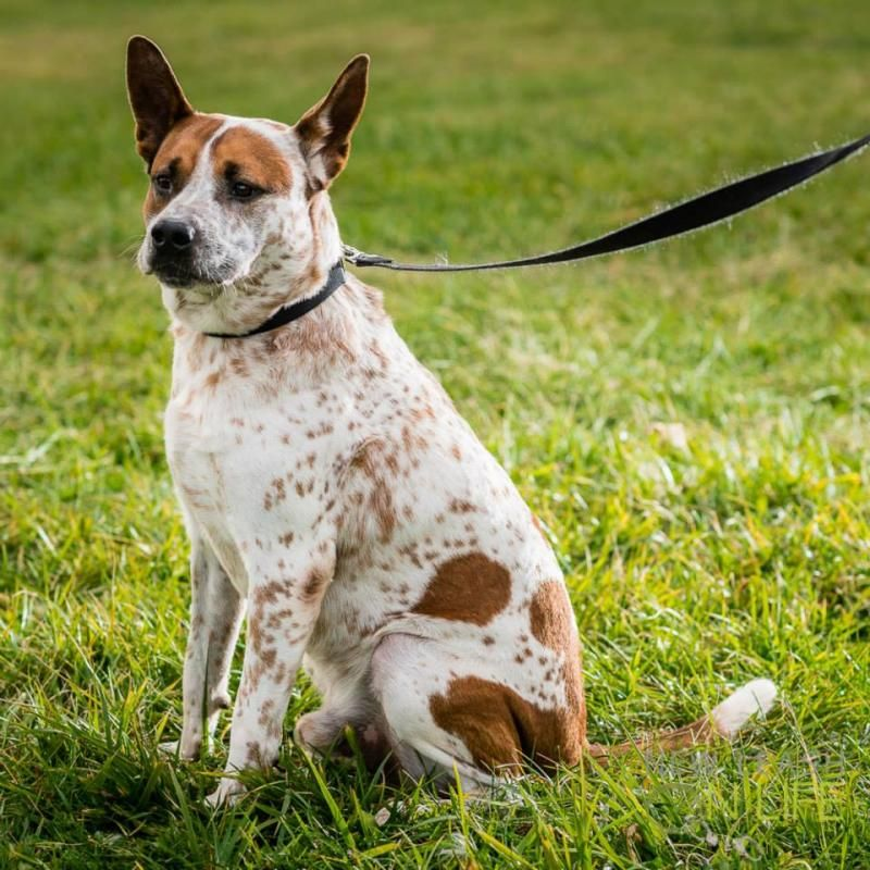 Adopt Bronco on Australian cattle dog, Puppies, Dogs