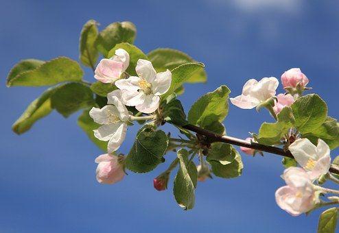 Pomme Fleur Pommier Printemps Peinture Fleurs Fleurs De