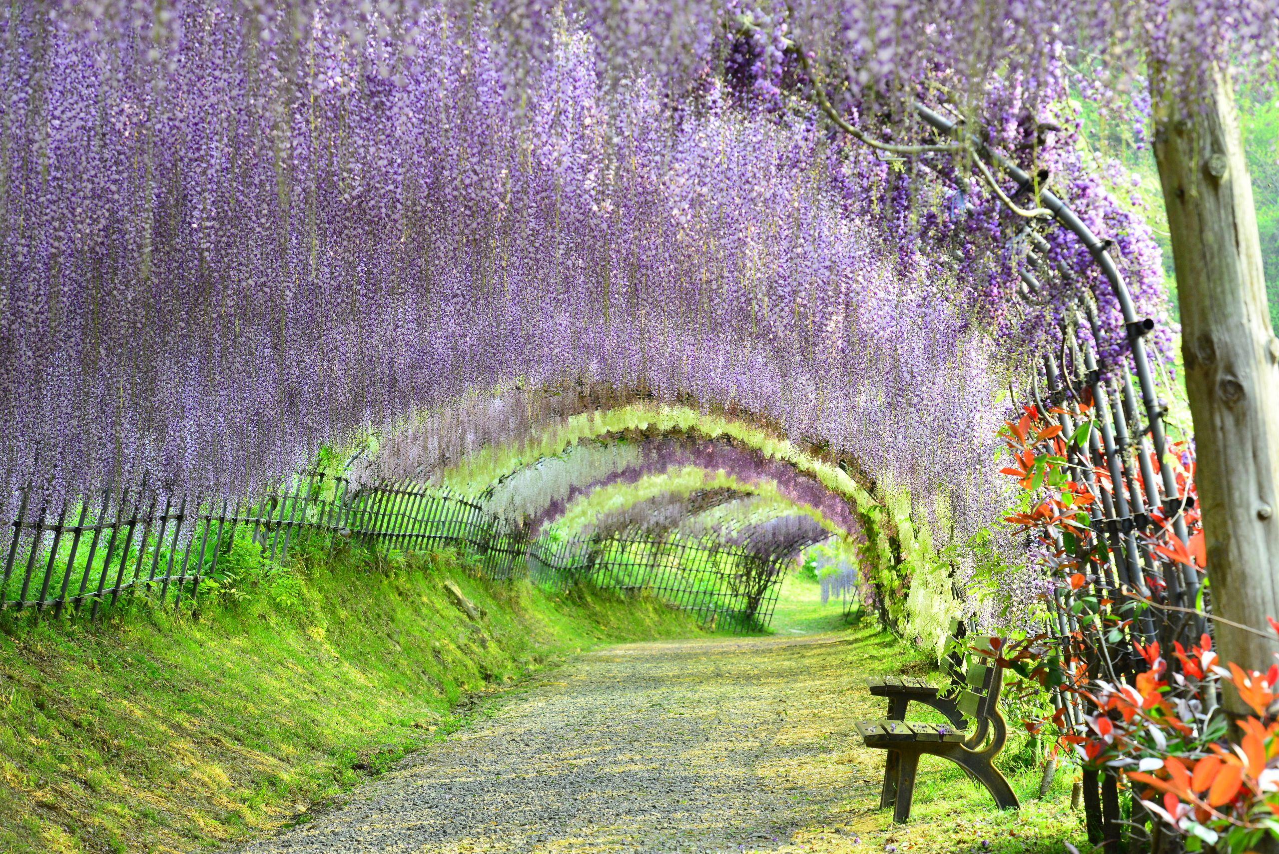 the wisteria flower tunnel at kawachi fuji garden, kitakyushu