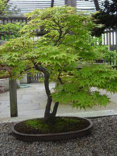 dwarf green japanese maple - Google Search