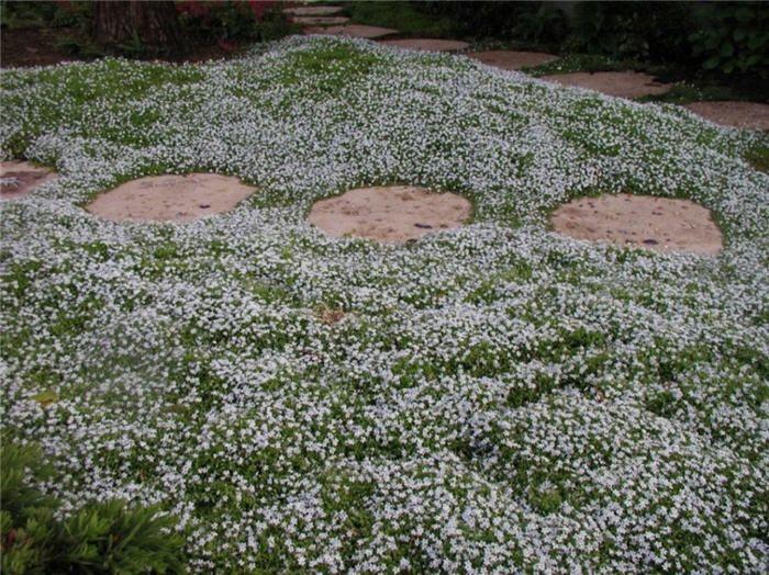 Plant Photo Of Pratia Pedunculata Ground Cover Plants Sloped Garden Front Yard Plants
