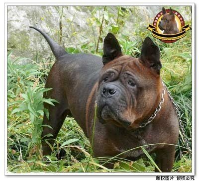 Chinese Chongqing Dog Rare Breed Dog Breeds Dogs Rare Dogs