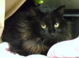 Adopt Magic On Petfinder Black Cat Cats Family Pet