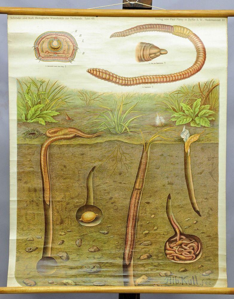 Antique biological school wall chart, anatomy, animals, rain worm ...