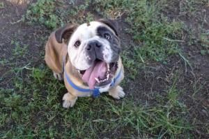 Welcome To Southern California Bulldog Rescue Southern