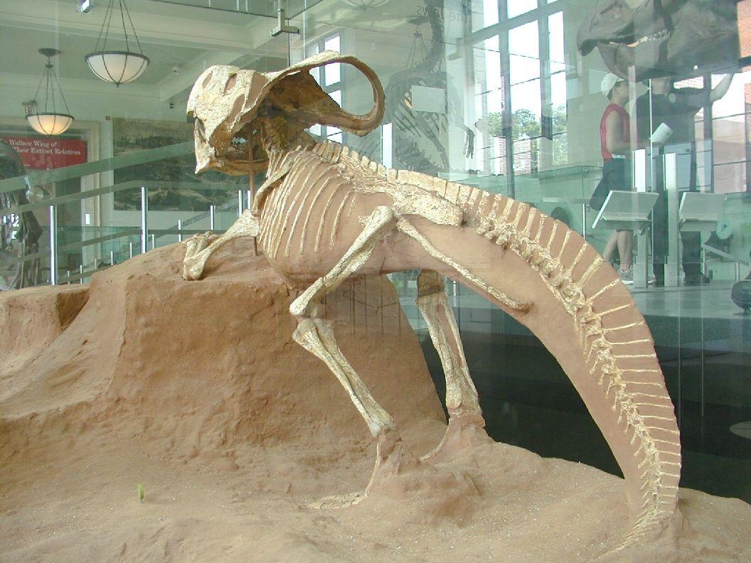Protoceratops andrewsi. AMNH