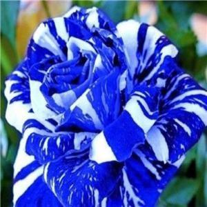 Seeds Rare dragon blue rose  Flower Garden x 10
