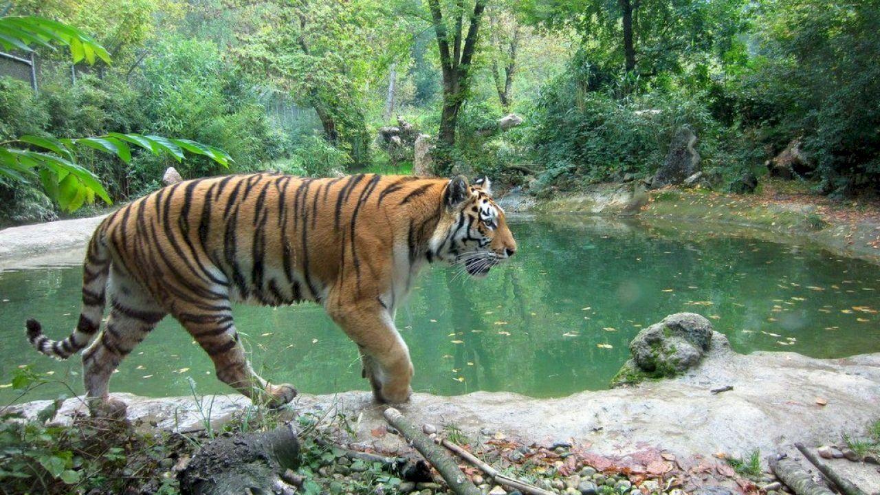 ما اسم صغير النمر Tiger Images Wildlife Tour Tiger Walking