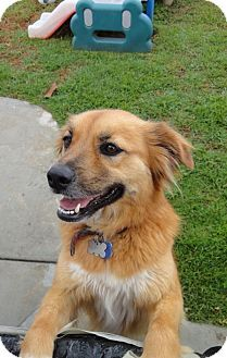 F Meggie A Golden Retriever Spaniel Unknown Type Mix For Adoption In Bellflower Ca Who Needs A Loving Home Golden Retriever Dog Adoption Bellflower
