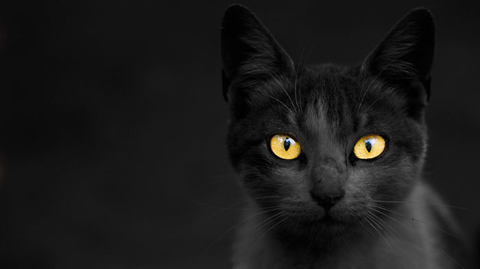 Seattle Animal Shelter Offers Free Black Cat Adoption This