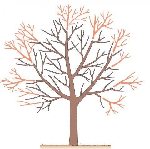 Baumschnitt Die wichtigsten Techniken (mit Bildern