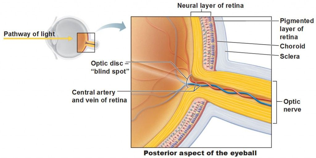 optic disc, blind spot, posterior eye, neural layer of retina ...