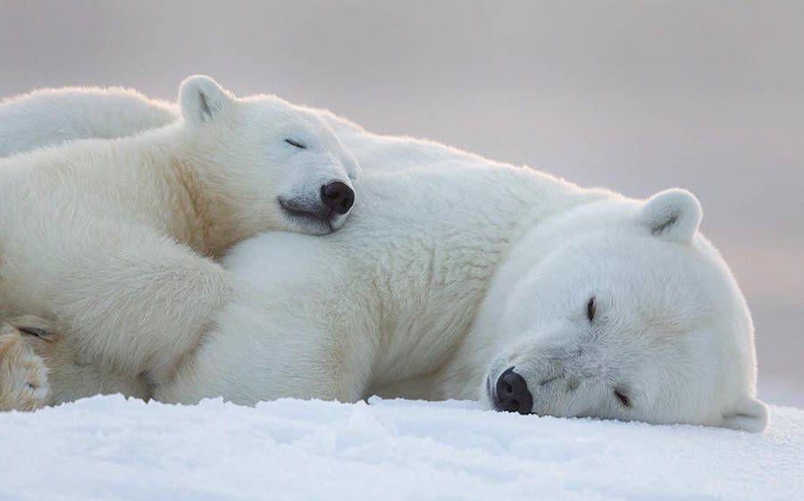 adorable baby polar bear photography � fubiz media