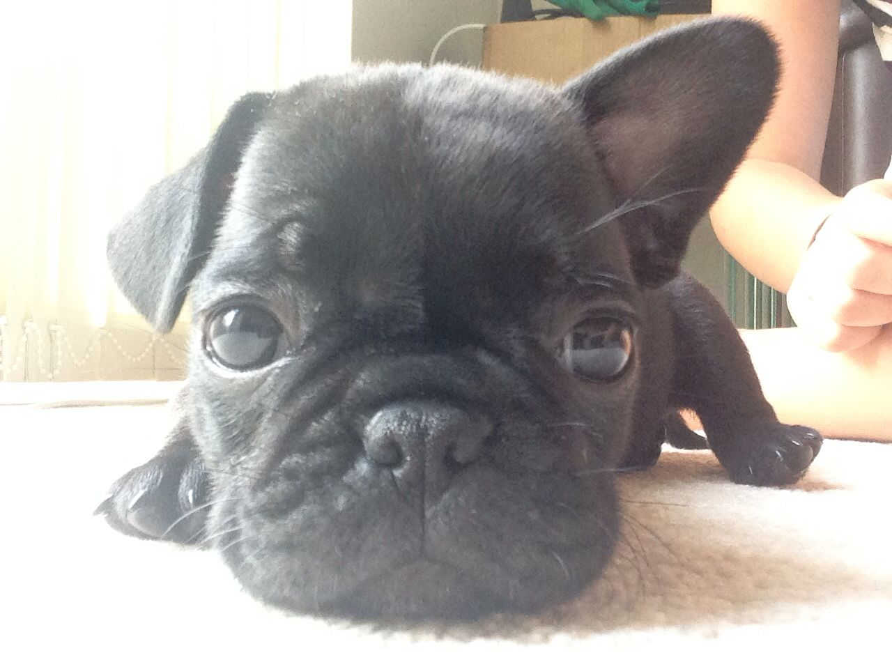 Frug Pug Cross French Bulldog 3 Puppy Dog Pictures Bulldog