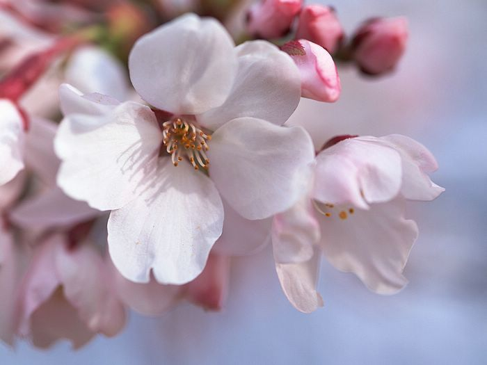 Cherry Blossom Perfume Oil Fragrance Scent Roll On Perfume Etsy Pink Blossom Flower Pictures Blossom Flower