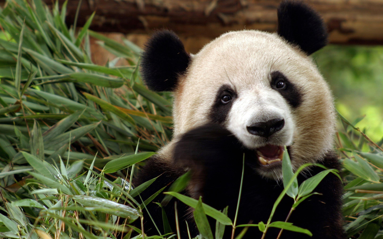 Panda Desktop Computer Wallpapers Panda Background Panda Wallpapers Panda