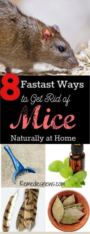 8 Fastest Ways to Get Rid of Mice Naturally at Home   Mice ...