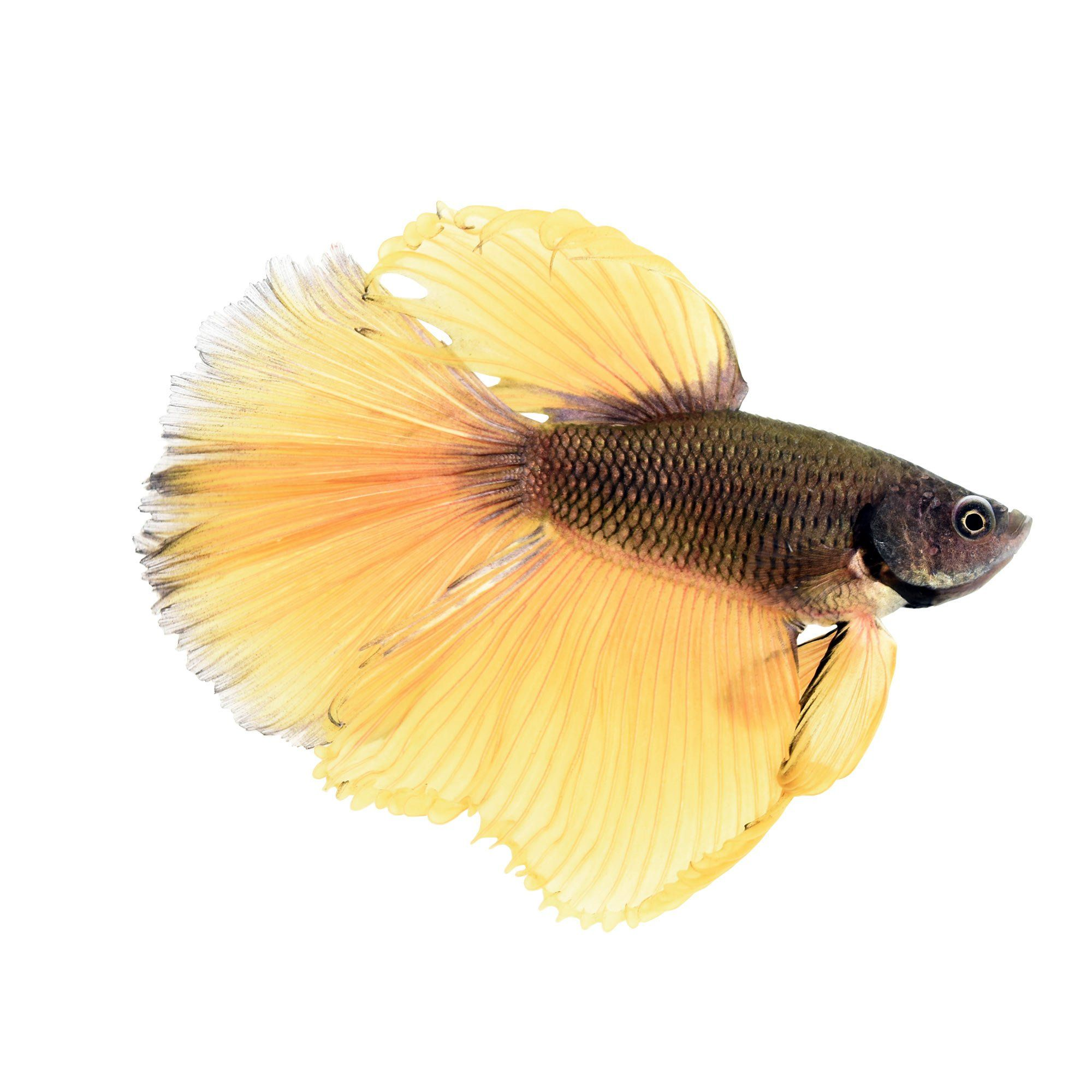 Male Bumblebee Bettas For Sale Order Online Petco Betta Siamese Fighting Fish Cool Fish Tanks