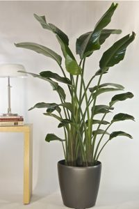 List Of Tall Floor Plants This One Is Bird Paradise Great Way To Add Visual Height A Room And Fill Corners If You Rotate Them Often So All Sides