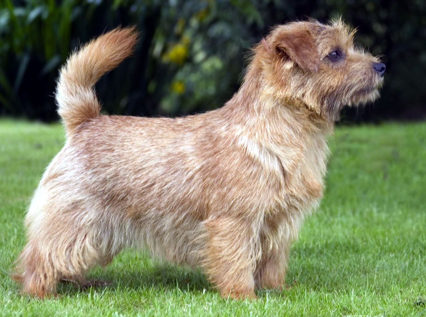 Norfolk Terrier 8 Jpg 1468 1092 Norfolk Terrier Norwich