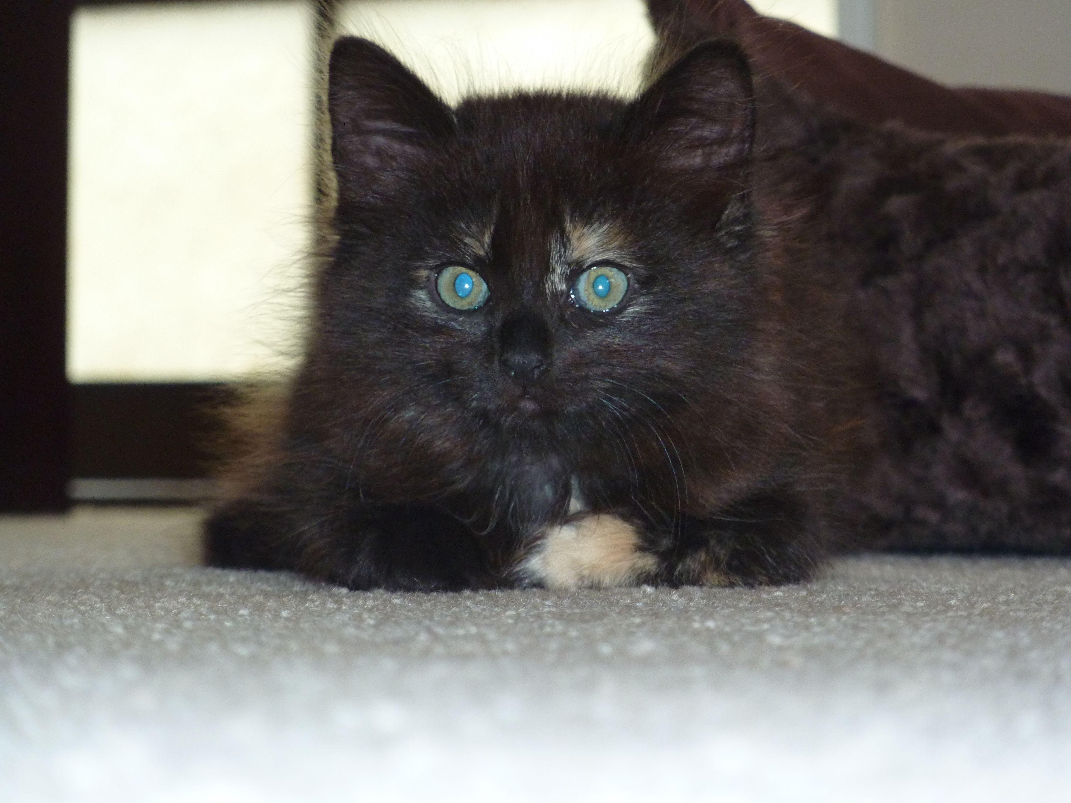Bailey.. cat kitten animal pet