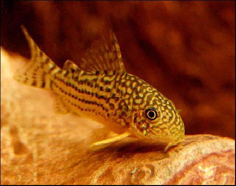 Sterbai corydora catfish featured item sterbai cory for Fish tank catfish