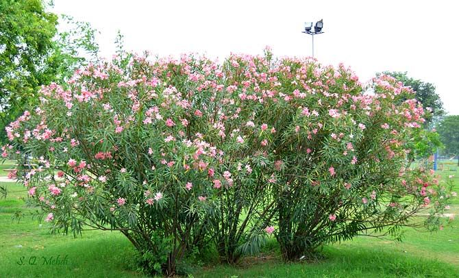 Mexican Oleander (Nerium Oleander) locally known as