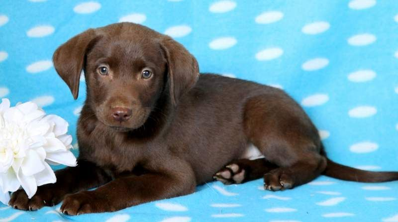 Axel Keystone Puppies Puppies For Sale Health Guaranteed Chocolate Lab Keystonepuppies Chocolate Lab Puppies Puppies Lab Puppies
