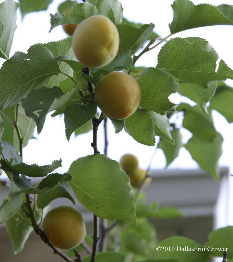 Dallas Fruit And Vegetable Grower Fruit Salad Tree Vine Fruit Apricot Fruit