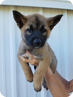 Hartford Ct German Shepherd Dog Mix Meet Aloha A Puppy For