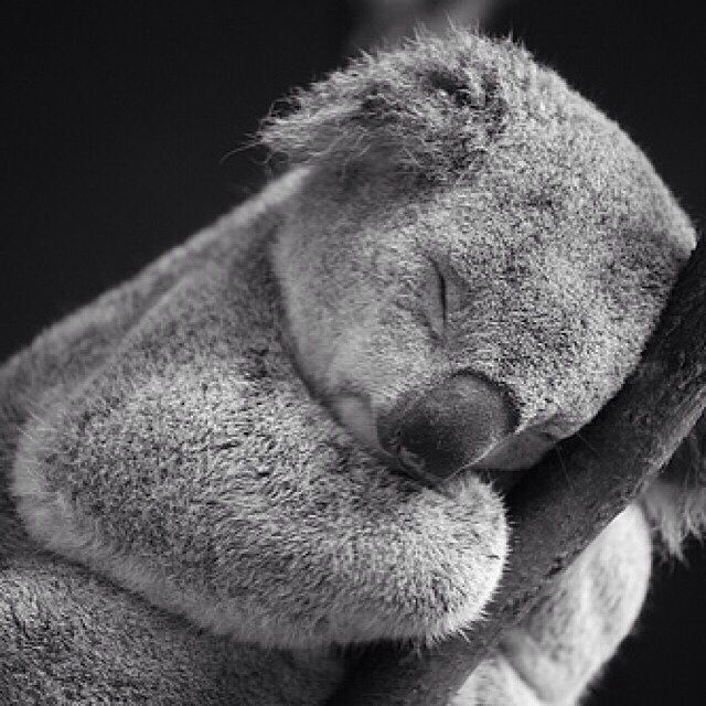 Sleeping baby koala bear <3