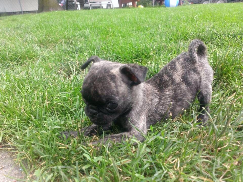 Jeremy Brindle Pug Puppy Cute Animals Cute Animals Animals