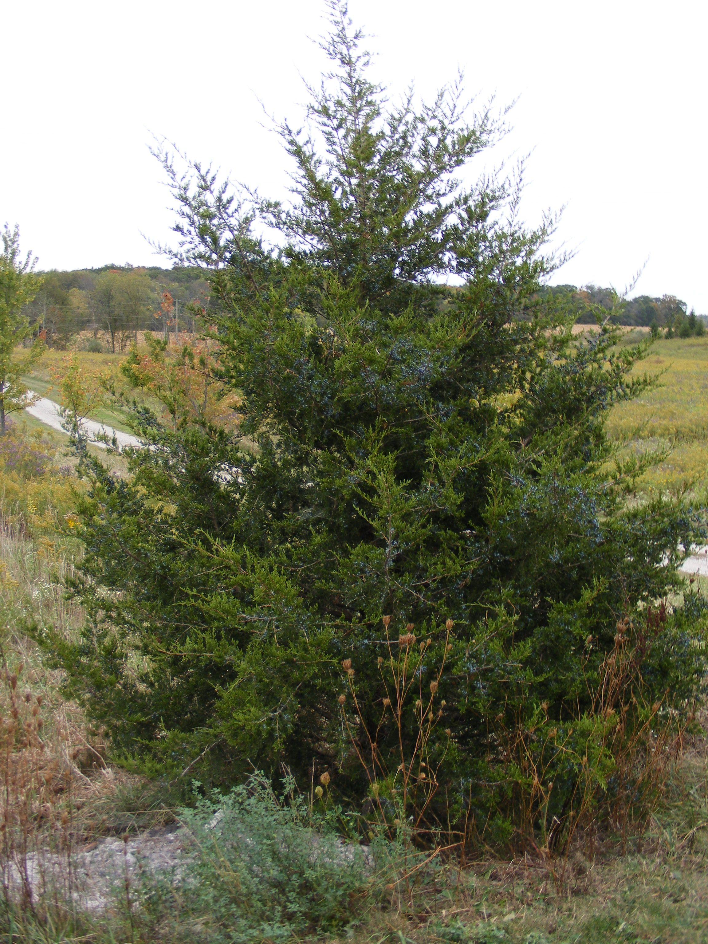 Eastern Red Cedar Juniperus Virginiana Silver Spreader Hgtv Gardens -