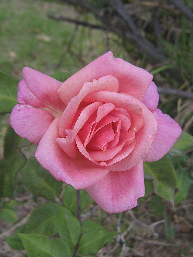 Alister Clark Memorial Rose Garden Best Roses Rose Climbing Roses