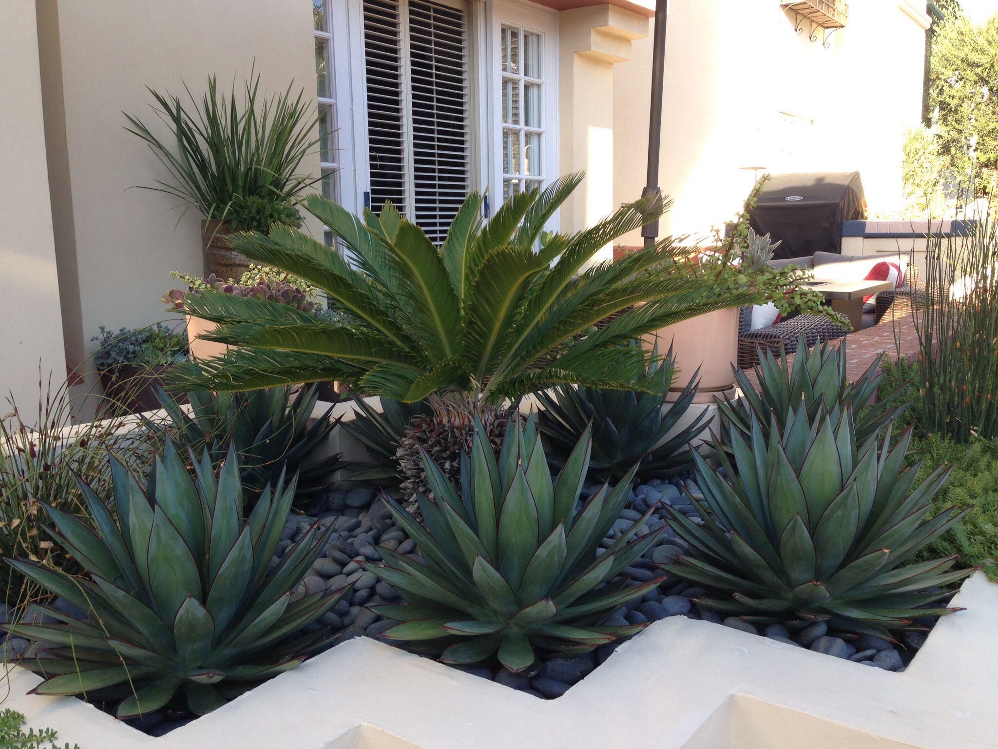 Newport beach modern planter blue glow agave sago palm for Garden design with palms