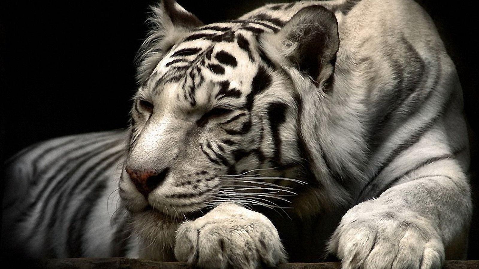 Tiger Wallpaper Hd Siberian White Tiger Hd Wallpaper 3268 Ssofc Animal Kingdom Disney Animals Most Endangered Animals