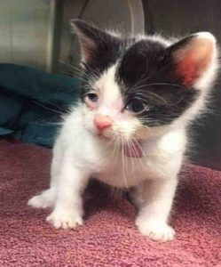 Cookie Is A 3 4 Week Old Kitten With Conjunctivitis Needs A Foster Home Can Eat On Own Cat Adoption Cute Animals Baby Animals