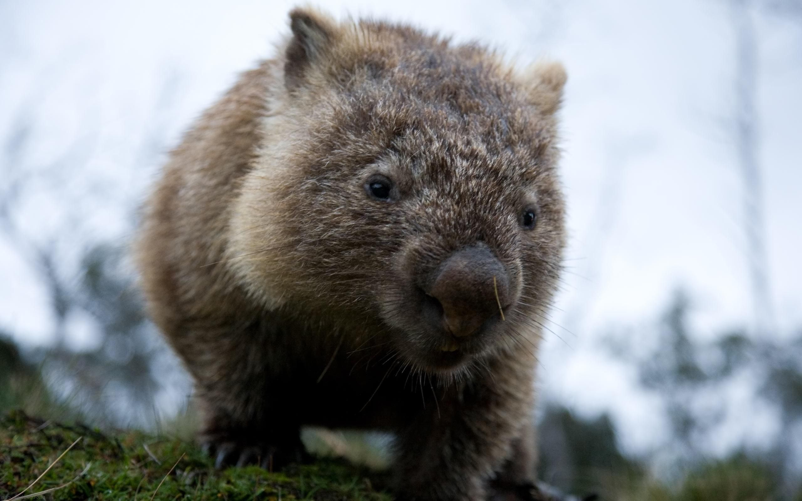 Wombat Wallpapers Cute animals, Animals wild, Wombat images