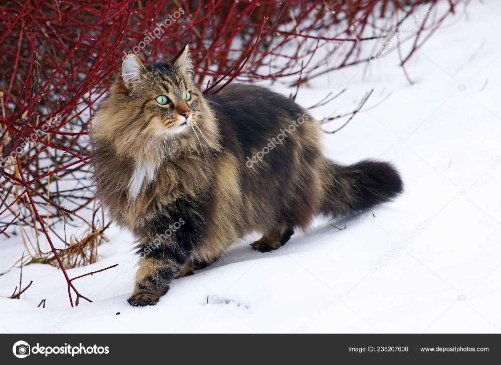 Pretty Young Norwegian Forest Cat i 2020 Norsk