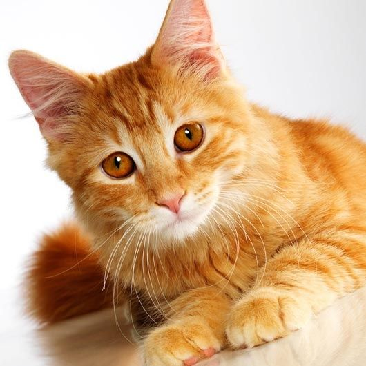 You Are Blazingfire You Are A Short Furred Ginger Tabby Cat With Hazel Eyes You Are From Windclan And You Became The Orange Tabby Cats Orange Cats Tabby Cat
