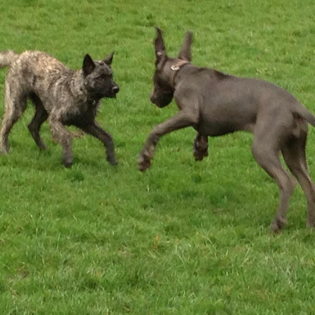 Duke Hollandse Herder Dogs Dog Cute Welpe 3month Der Dukie Welpenschule Dog Obedience School Hundeschu Hundeschule Hollandischer Schaferhund Welpen