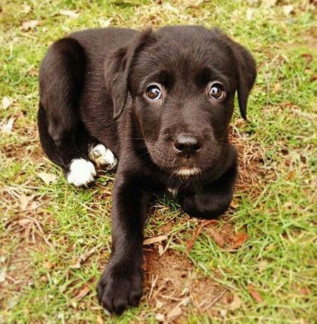 Labrador Labrador Retriever Labrador Labrador Retriever Puppies