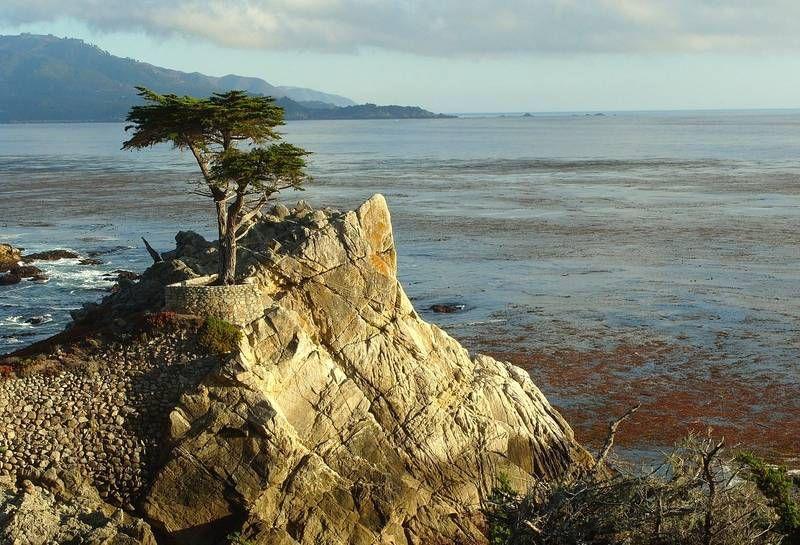 Lone Cypress - Wikipedia
