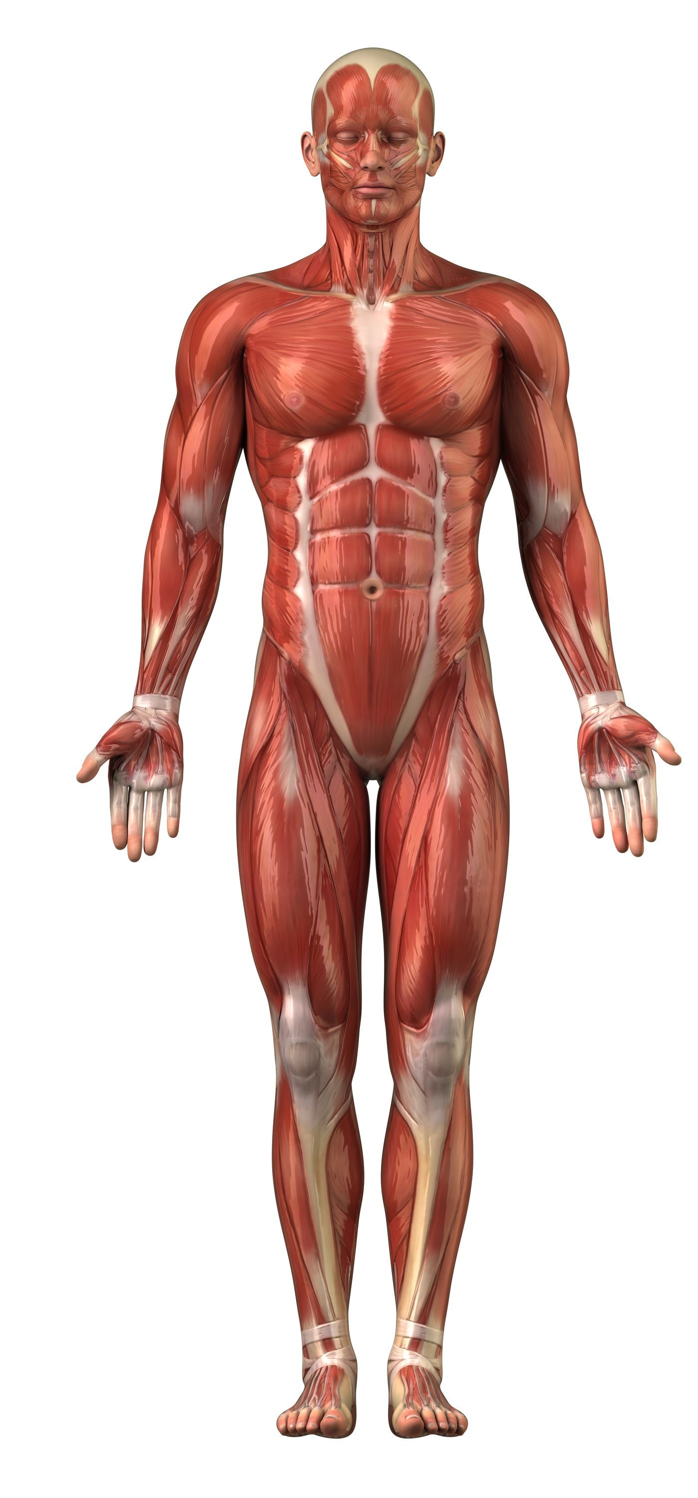 body muscles images – applecool, Muscles