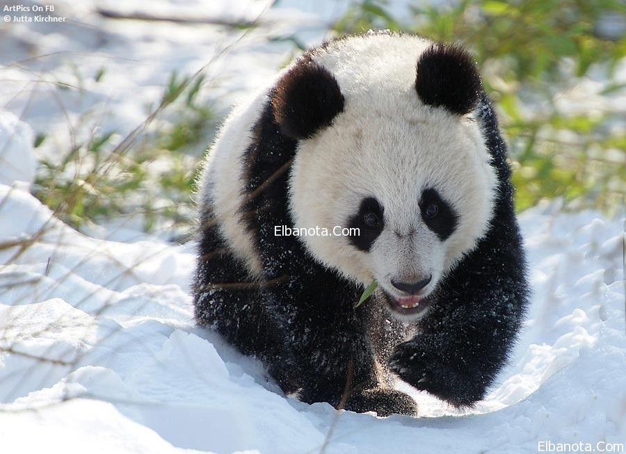 اجمل صور لدب الباندا العملاق المهدد بالانقراض Panda Cute Panda Panda Bear
