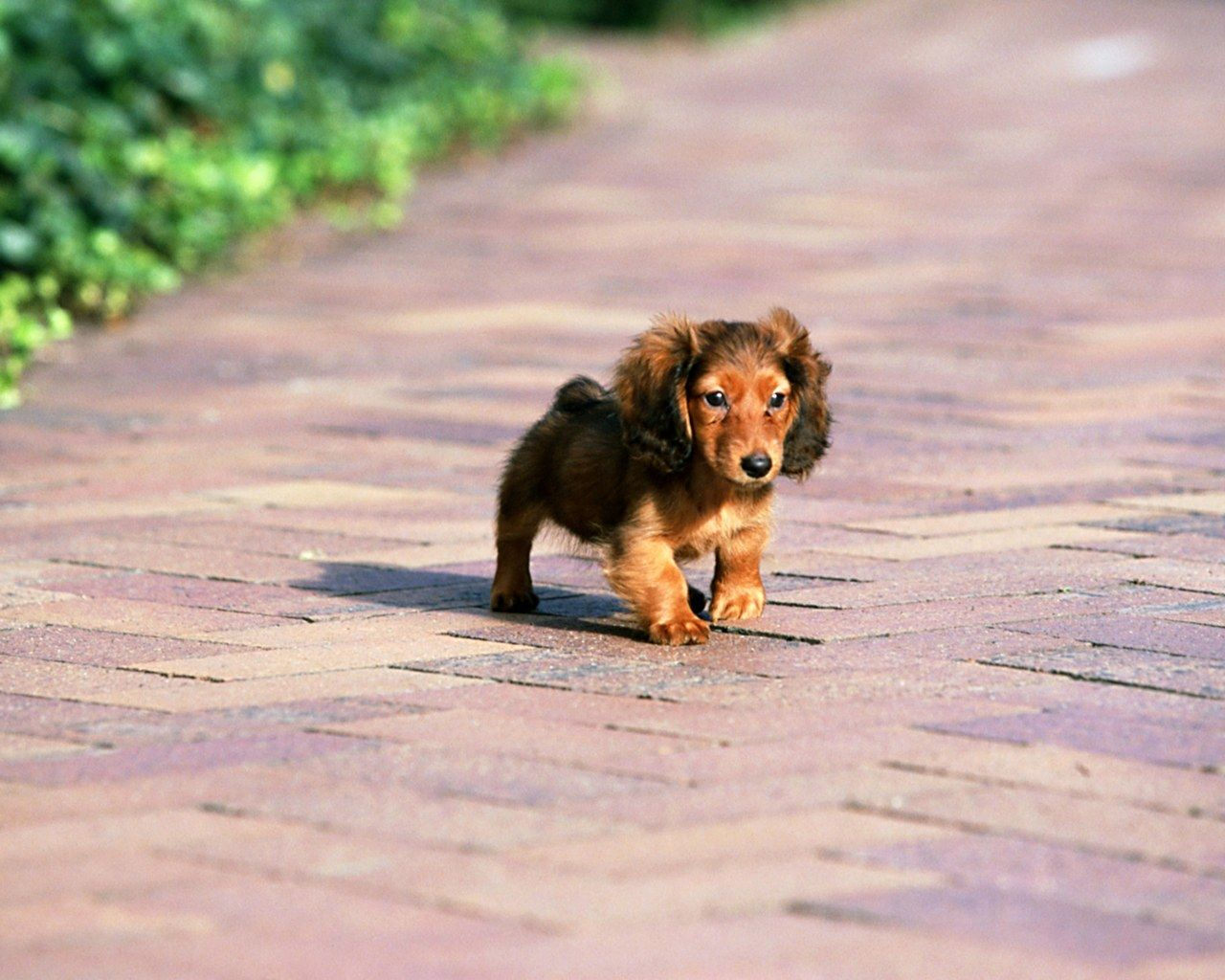 Mini Ature Dachshunds Miniature Dachshund Puppies Wallpapers