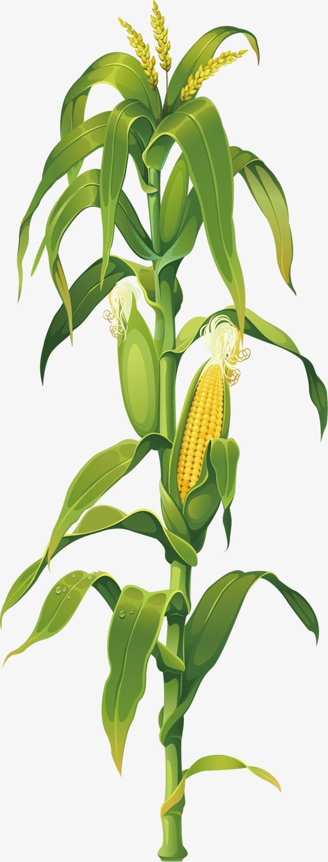Corn Corn Clipart Green Leaves Corn Cobs Png And Vector With Transparent Background For Free Download Corn On Cob Corn Painting Corn Stalks