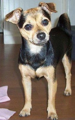 Angel The Jack Chi All Grown Up At 1 Years Old Dog Breeds